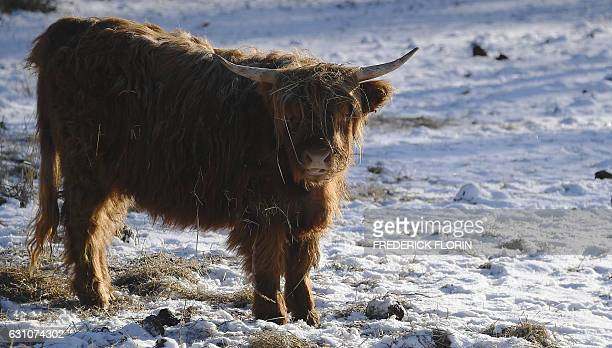 A Highland Cattle cow is pictured as frost covers the trees and fields in Andlau eastern France on January 6 2017 / AFP / FREDERICK FLORIN