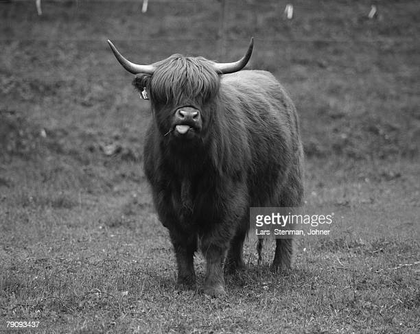 Highland cattle cow.