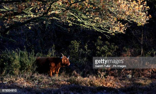 Highland cattle graze on heathland during a frosty morning near Ashford Kent as parts of Britain woke to another icy morning on Sunday after biting...