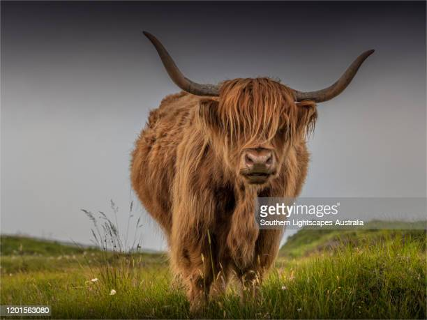 highland cattle grazing near elgol, isle of skye, inner hebrides, scotland, united kingdom. - highland cattle stock pictures, royalty-free photos & images