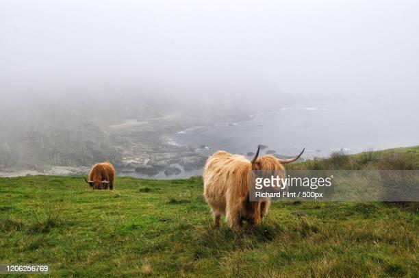 highland cattle grazing on coast, islay, uk - richard flint stock pictures, royalty-free photos & images