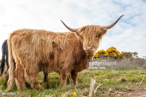 Highland cattle grazing on Exmoor National Park near Cloutsham, Somerset UK