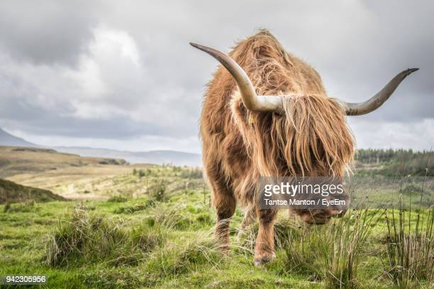 highland cattle grazing on grassy field against cloudy sky - highland cattle stock photos and pictures