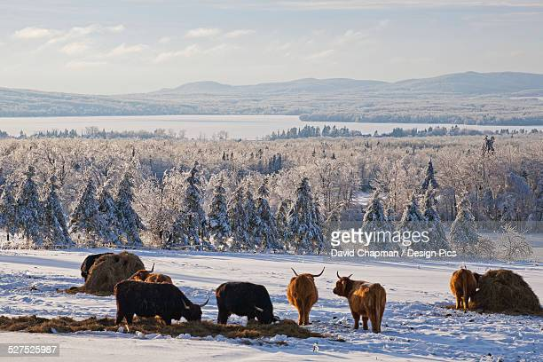 Highland cattle in a meadow in winter