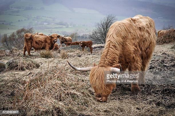 Highland cattle in a muddy field in Derbyshire