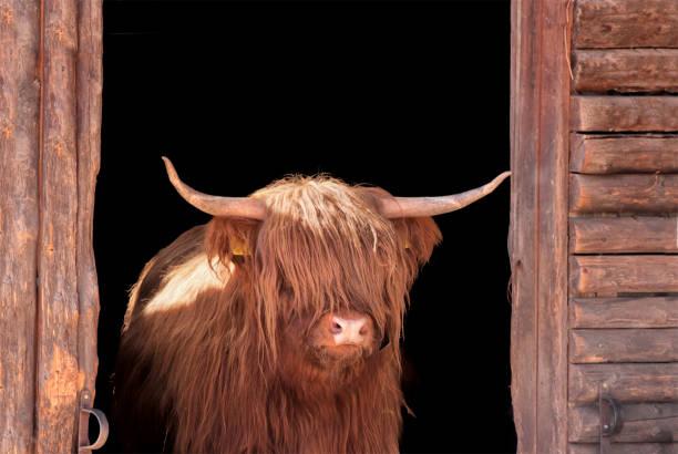 Highland Cattle In Barn Door Wall Art