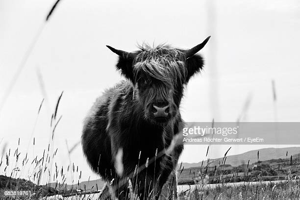Highland Cattle In Field