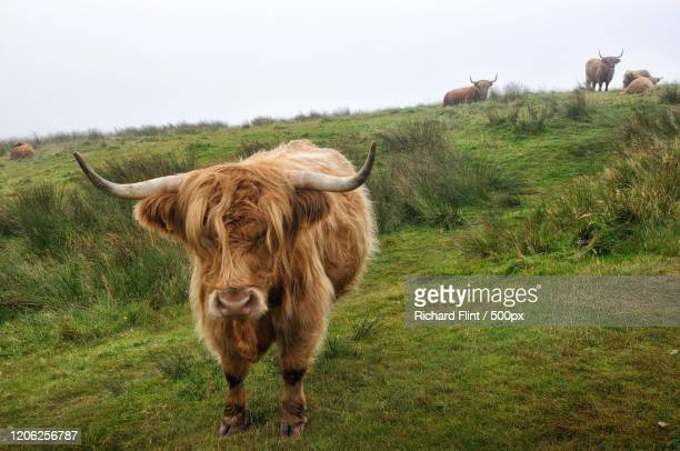 highland cattle in pasture, islay, uk - richard flint stock pictures, royalty-free photos & images