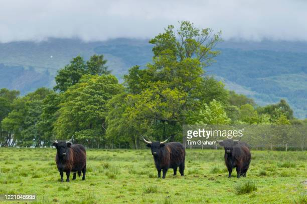 Highland Cattle in peaceful landscape in the Scottish Highlands