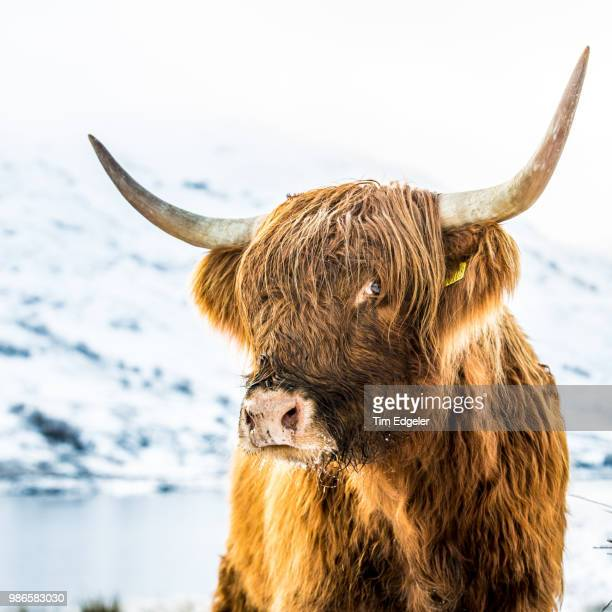 a highland cattle in scotland. - bull animal stock pictures, royalty-free photos & images