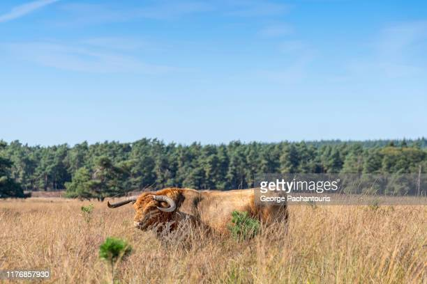 highland cattle in the nature - gelderland stock pictures, royalty-free photos & images