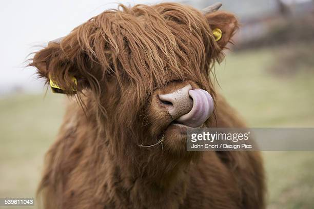 Highland Cattle Licking Its Lips