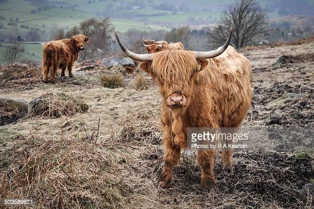 Highland cattle near Baslow edge, Derbyshire