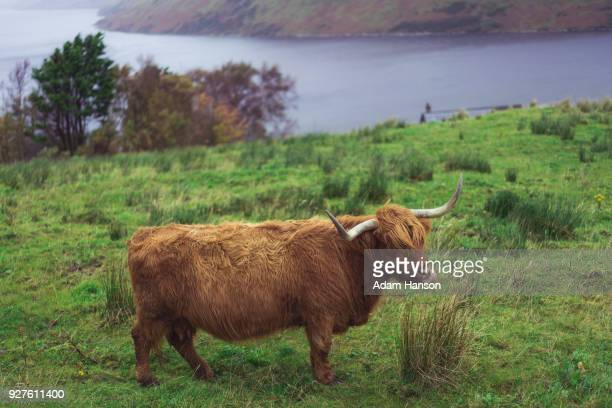 highland cattle of scotland - highland cattle stock photos and pictures