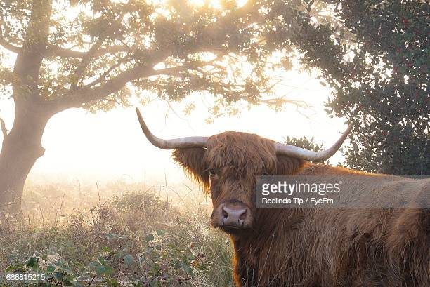Highland Cattle On A Field