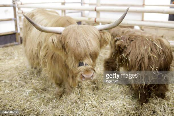 Highland Cattle on February 06 2017 in Berlin Germany