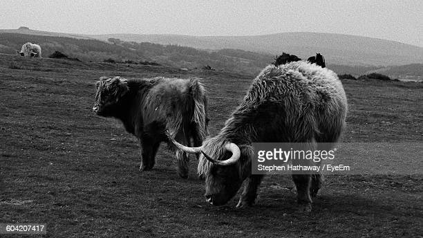 Highland Cattle On Field Against Sky