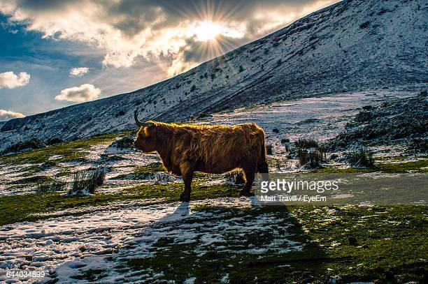 highland cattle on field against snow covered mountain - highland cattle stock photos and pictures