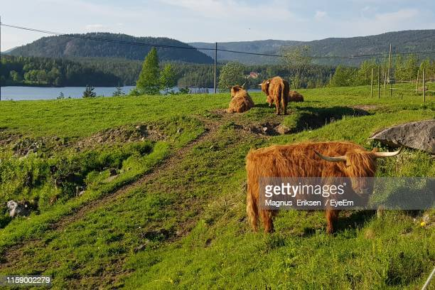 highland cattle on field - eriksen stock pictures, royalty-free photos & images