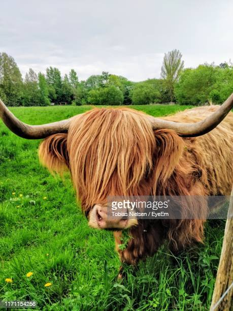 highland cattle on grass against sky - herbivorous stock photos and pictures