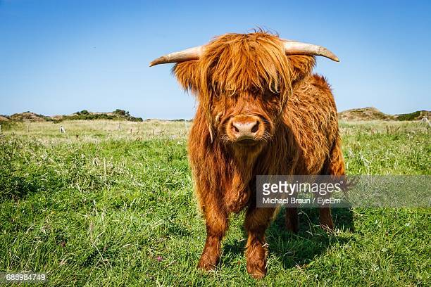 highland cattle on grassy field against clear sky - highland cattle stock photos and pictures