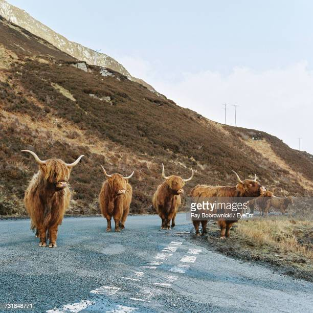 Highland Cattle On Road Against Sky