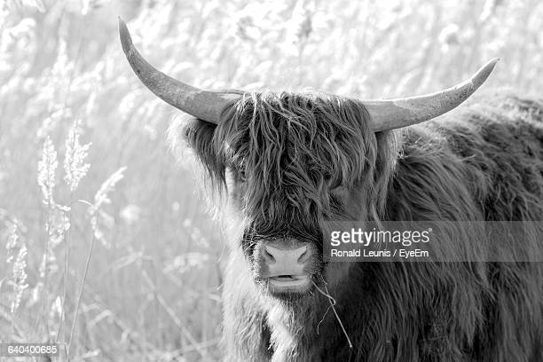 Highland Cattle On Standing Field