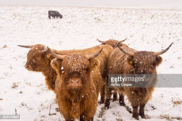 Highland cattle on the moors above Settle in the Yorkshire Dales National Park, UK.