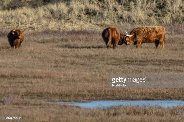 Highland cattle or Highland cow is a Scottish domesticated breed of rustic cattle, originating in the Highlands of Scotland. The huge long hair...
