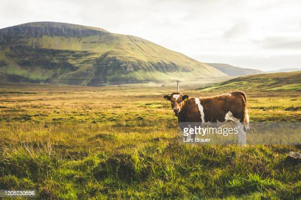 highland cattle - farmer stock pictures, royalty-free photos & images