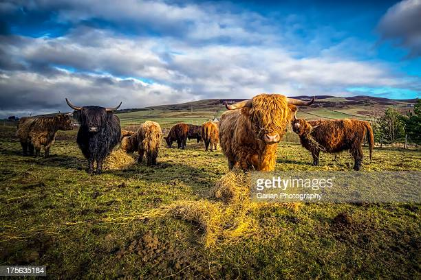 highland cattle - highland cattle stock photos and pictures