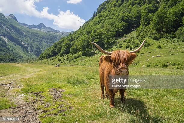 a highland cattle (bos taurus) - piemonte - fotografias e filmes do acervo