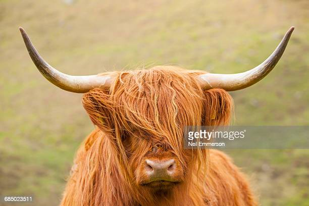 highland cattle - highland cattle stock pictures, royalty-free photos & images