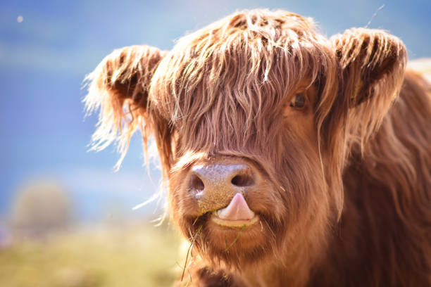 Highland cattle portrait
