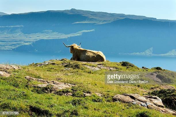 Highland Cattle Relaxing On Field Against Lake And Mountain