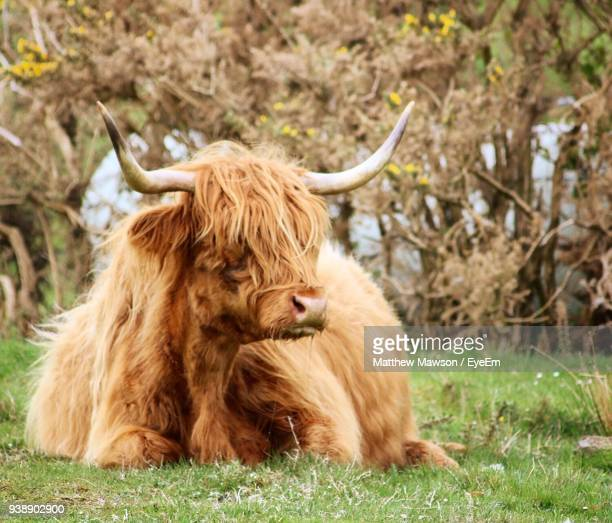 Highland Cattle Relaxing On Grassy Field