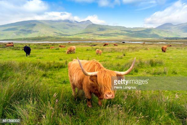 Highland Cattle roaming free on the Isle of Mull, Inner Hebrides, Scotland