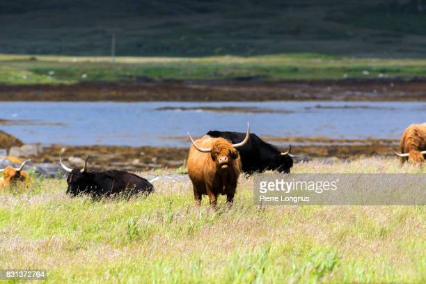 highland cattle roaming free on the isle of mull, inner hebrides, scotland - cow mooing stock pictures, royalty-free photos & images