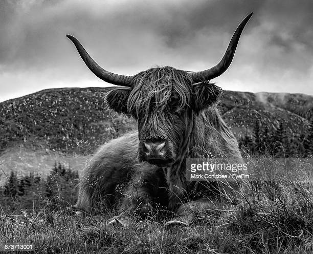 Highland Cattle Sitting On Field Against Cloudy Sky