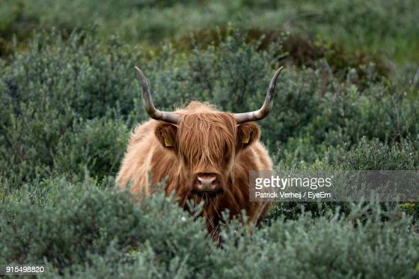 Highland Cattle Standing Amidst Plants