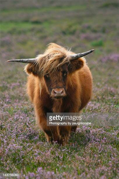 Highland Cattle standing in Lavender