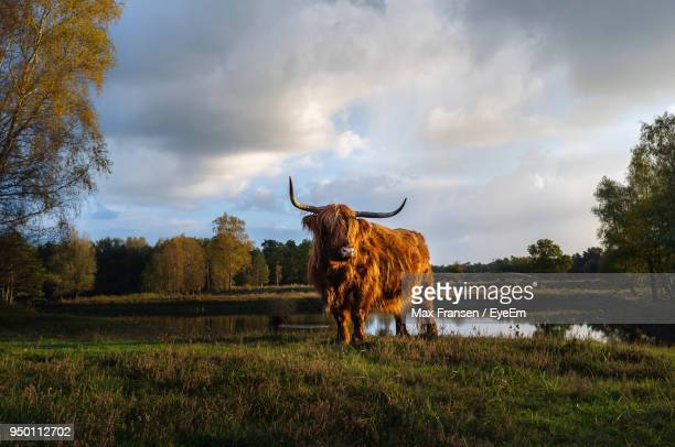 Highland Cattle Standing On Field By Lake Against Cloudy Sky