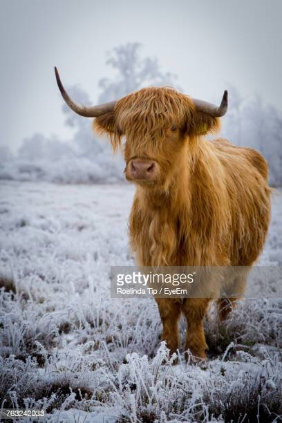 highland cattle standing on field during winter - highland cattle stock photos and pictures