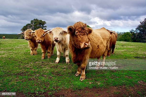 Highland Cattle Standing On Grassy Field Against Cloudy Sky