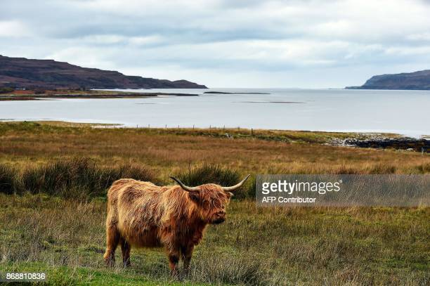 Highland cattle stands in a field on the Isle of Ulva off Scotland's west coast on October 20 2017 When tycoons in helicopters began landing on...