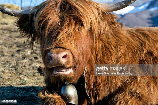 Highland cattle, Ticino, Switzerland