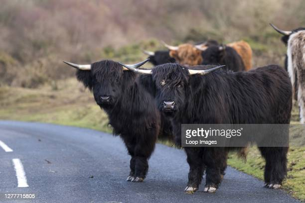 Highland Cattle wandering on a road on Goonzion Downs in Cornwall.