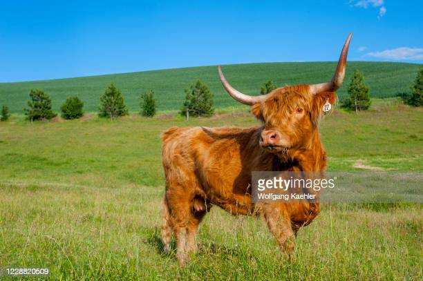 Highland cattle, which is a Scottish breed of rustic cattle, in the Palouse, Eastern Washington State, USA.