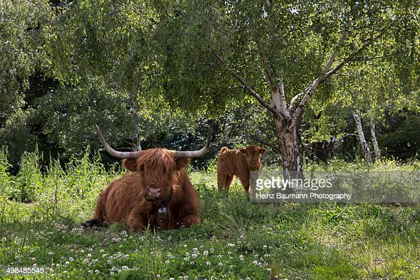 Highland cattle with calf