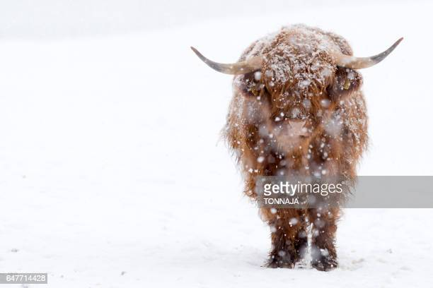 Highland Cattle with snow